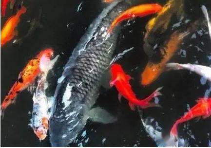 """警方发布通报!重庆40斤重网红鲤鱼""""莽子"""",再也回不来了!"""