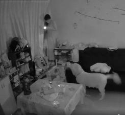 陌生人翻窗闯进屋,比特警觉吠叫,而大金毛叼来了拖鞋