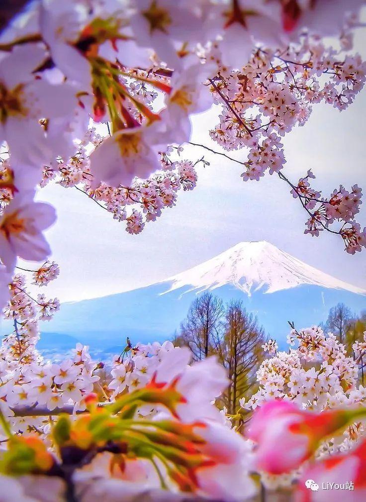 樱花的记忆