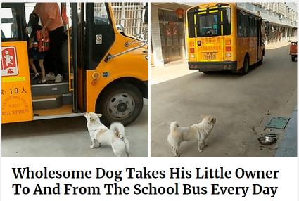 小土狗火到了国外,不仅能送孩子上学,还能监督做作业