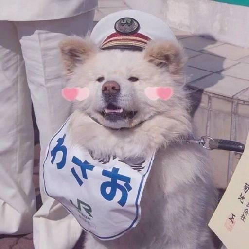 日本超人气的丑萌秋田站长走了,网友送别:它终于和奶奶团聚了!