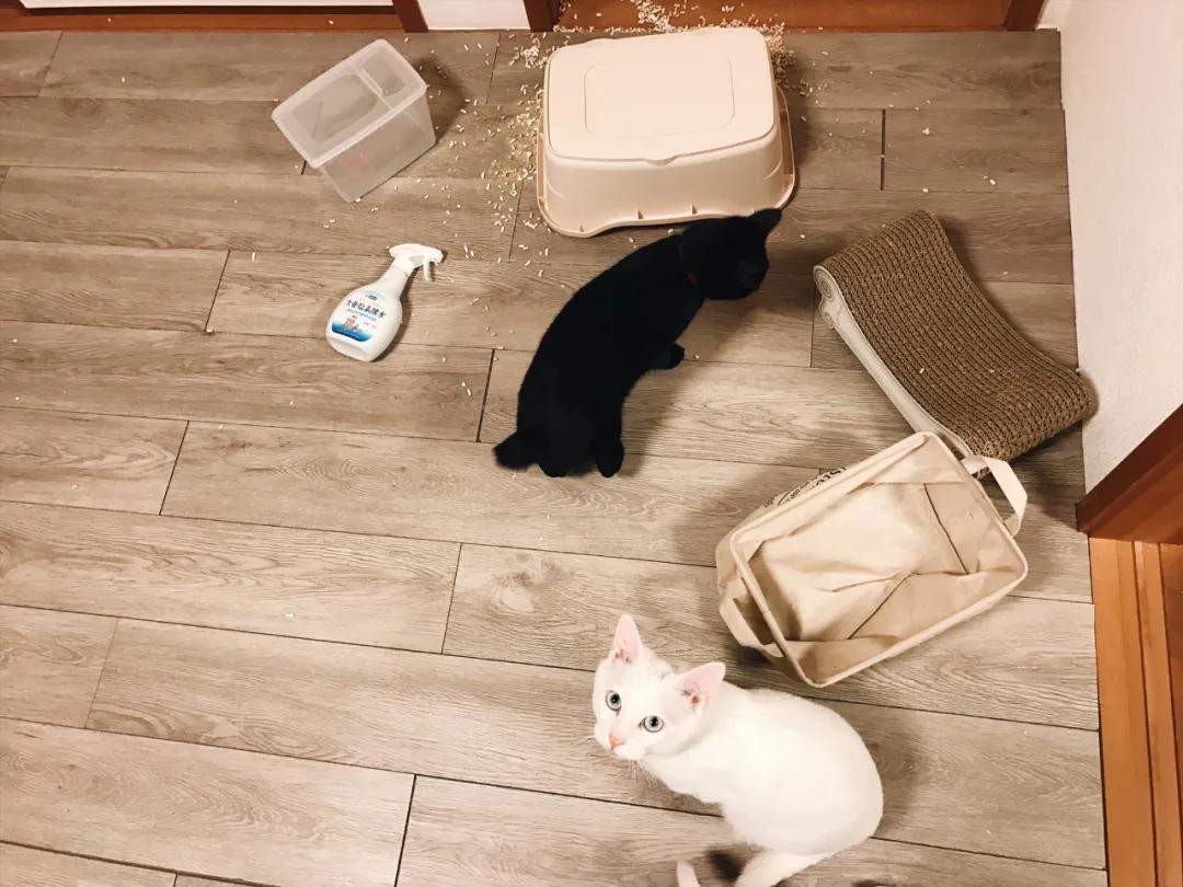 日本博主养了一只白猫,每日都是作天作地