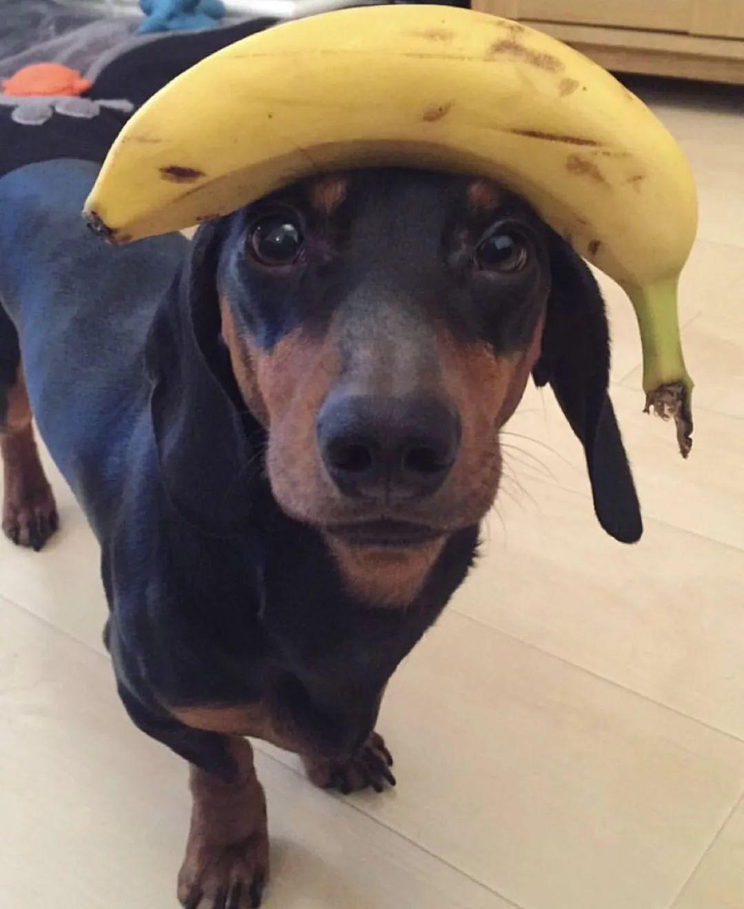 狗子从小顶白菜,顶草莓,结果顶着顶着顶出一个冠军